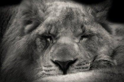 Sovande lejon