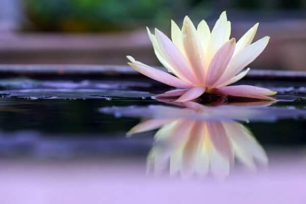 Lotusblomma på vatten