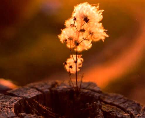 Blomma i stubbe
