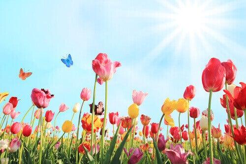 Tulpaner i solen