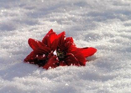 Röd blomma i snö