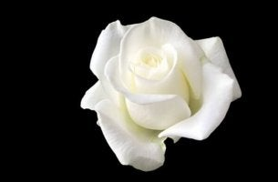 Den vita rosen