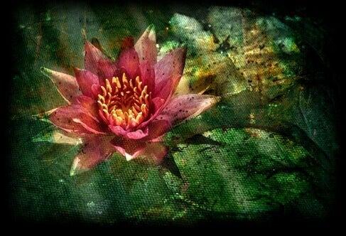 Utslagen lotusblomma