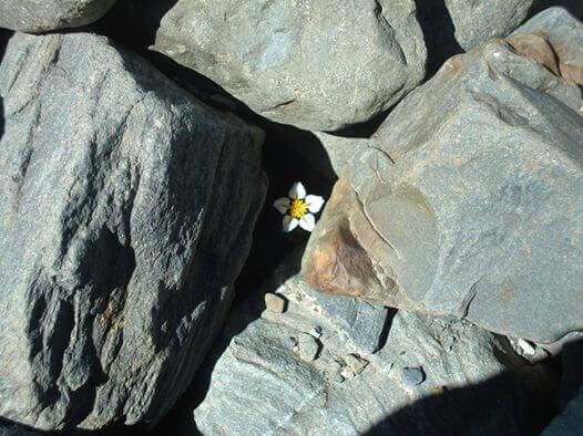 Blomma bland stenar