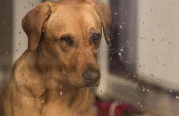 Hund i fönster