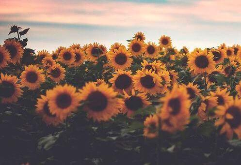 Fält av solrosor