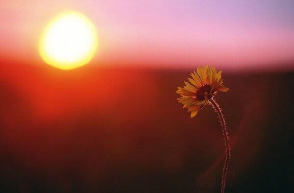 Blomma i solnedgång