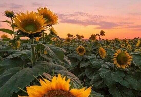 Fält med solrosor
