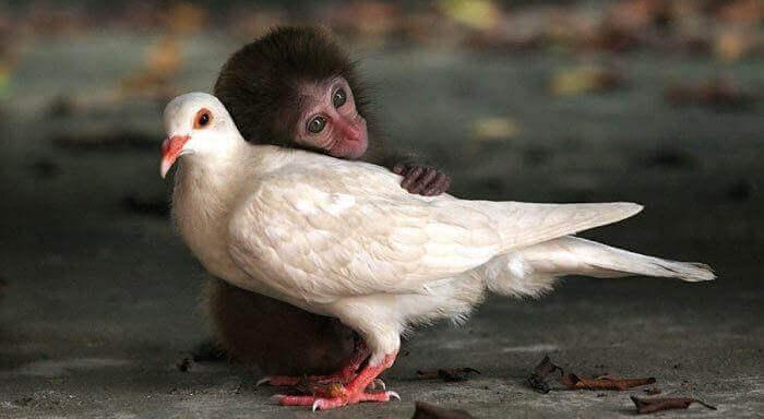 Apa som kramar duva