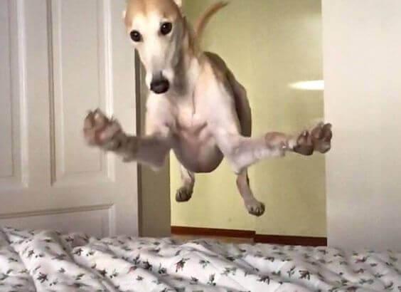 Hoppande hund