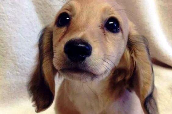 Hundvalp med söta ögon