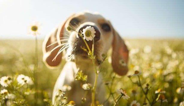 Hund som luktar på blomma