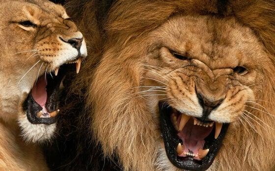 Lejon som gapar