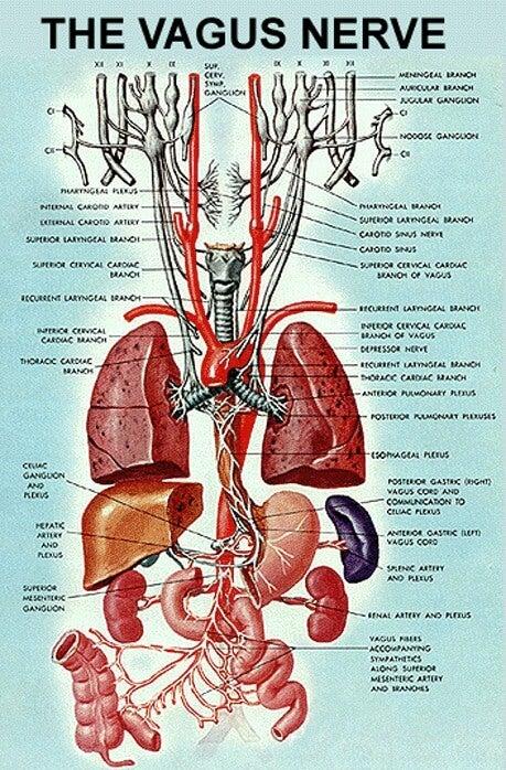 Vagusnerven och organ