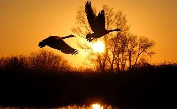 Fåglar i skymning
