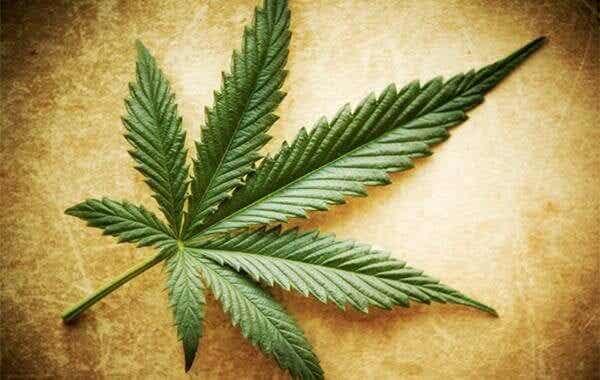Sanningar, halvsanningar och myter om marijuana