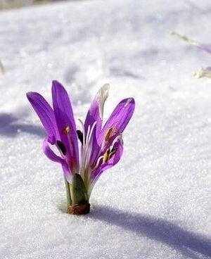 Blommor i snön