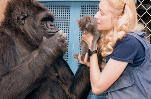 Den fina historien om Koko – världens smartaste gorilla