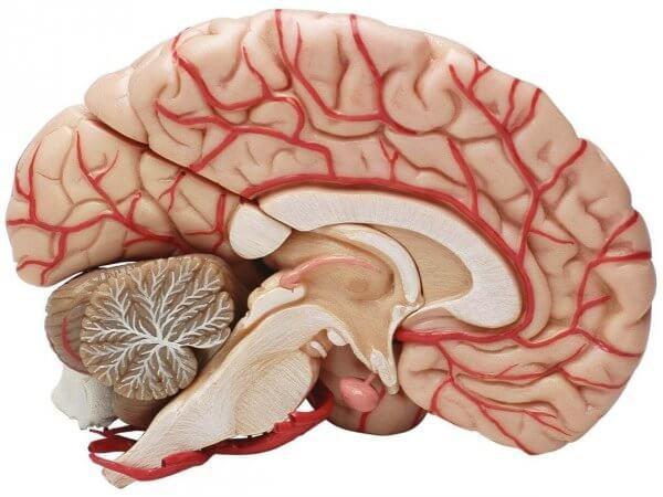 Hjärnan i tvärsnitt