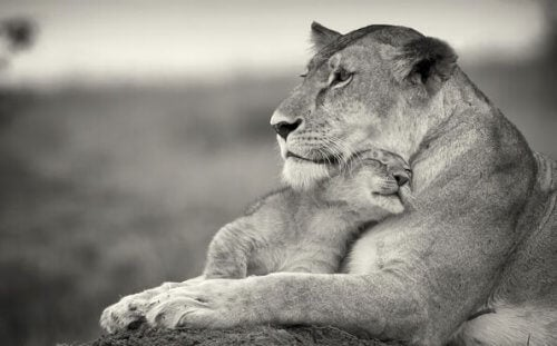 Lejonhona med unge