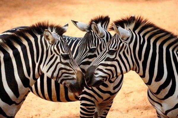 Sociala zebror