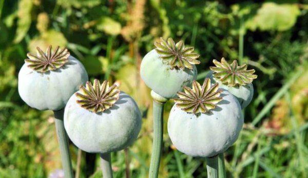 Vallmo med opium