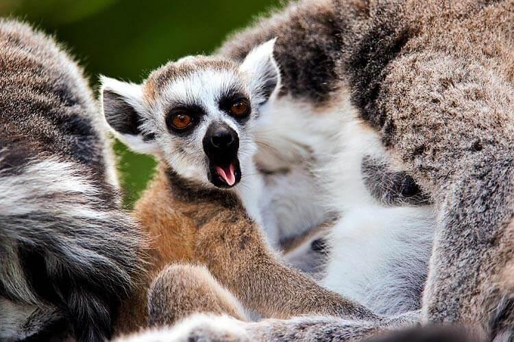 Lemur som gäspar