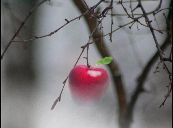 Rött äpple på gren