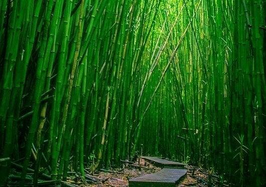 Skog av bambu