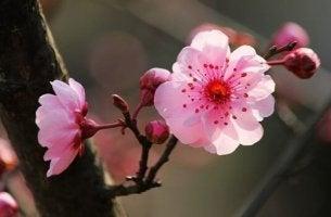 Den japanska psykologin och körsbärsblomman.