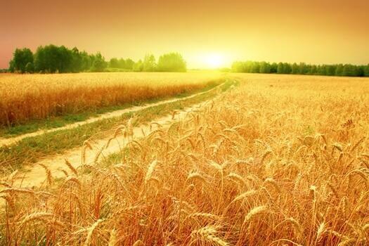 Fält med vete.