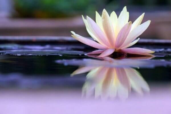 Lotus som representerar citat av Suzanne Powell