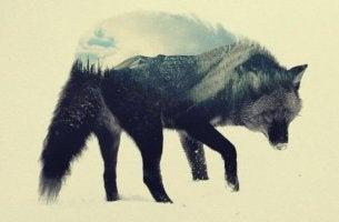 En varg som går