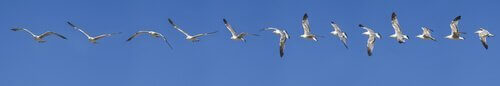 Flygande fiskmås