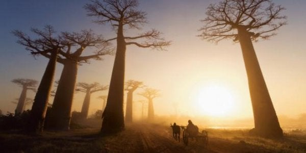 Baobabträd i Afrika.