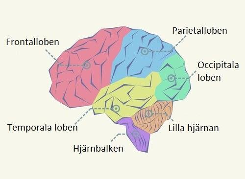 Schematisk bild av hjärnan