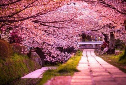 legenden om sakura