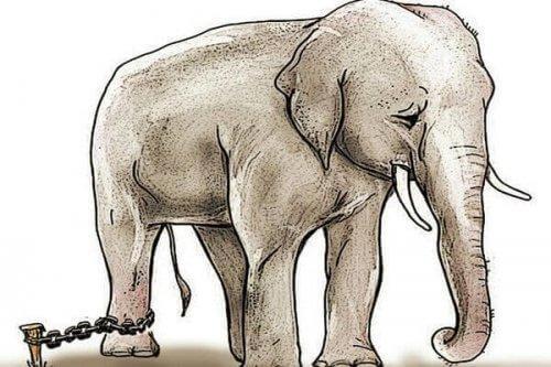 En kedjad elefant
