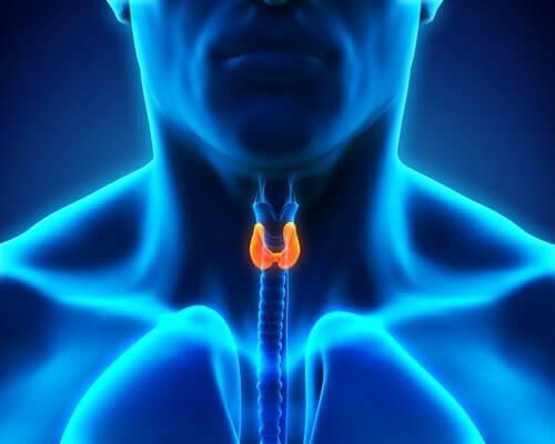 Schematisk bild av sköldkörtel hos man.