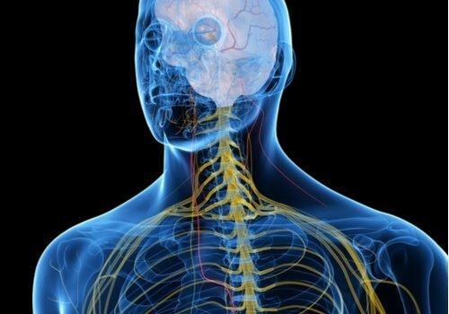 Vagusnerven går genom kroppen