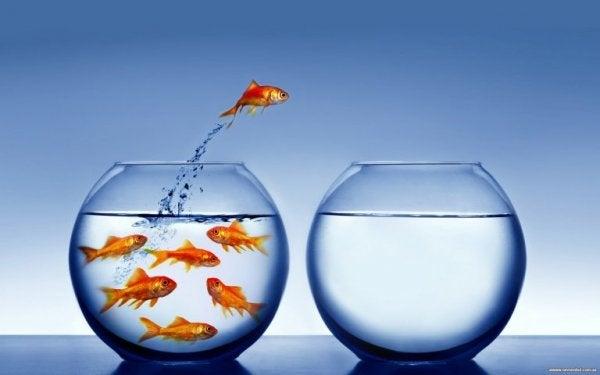 Guldfisk hoppar från en vattenskål till en annan