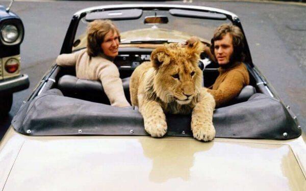 Lejonet Christian i en bil