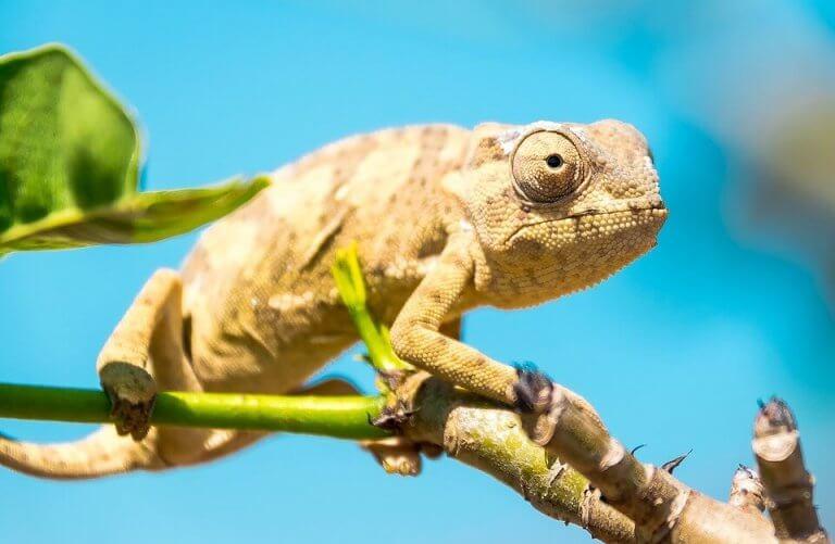 Kameleont som sitter på en gren.