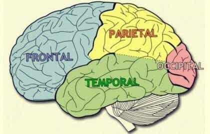 Cerebrala lober: Egenskaper och funktioner