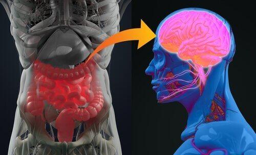 Det enteriska nervsystemet – en 2:a hjärna