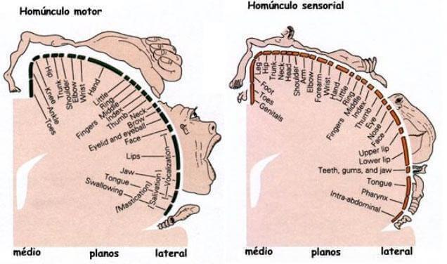 Penfield Homunculus i hjärnan.