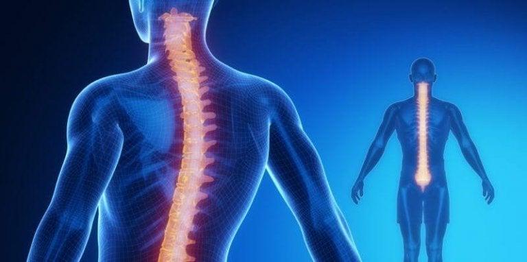 Ryggraden: anatomi och fysiologi
