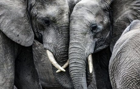 Elefanter är väldigt sociala