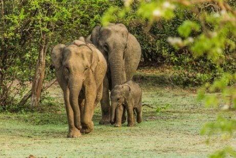 Elefanter med unge