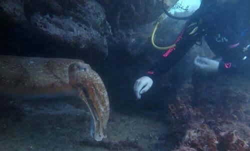 En dykare som rör vid en bläckfisk.